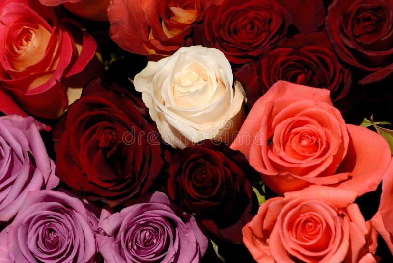 As rosas vermelhas e brancas bonitas florescem o fundo do amor fotos de stock royalty free