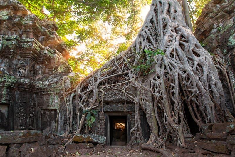 As ruínas e as raizes antigas da árvore, de um templo histórico do Khmer dentro fotos de stock