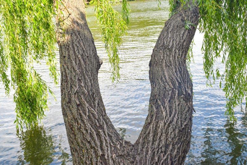 As ?rvores de salgueiro g?meas com troncos torcidos t?m a forma dos p?s da mulher fotos de stock