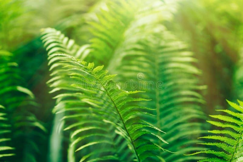 As samambaias de Beautyful deixam a folha verde o fundo floral natural da samambaia na luz solar fotografia de stock royalty free