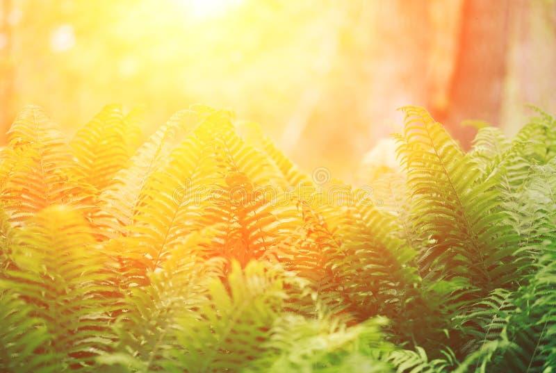 As samambaias de Beautyful deixam a folha verde o fundo floral natural da samambaia na luz solar imagens de stock