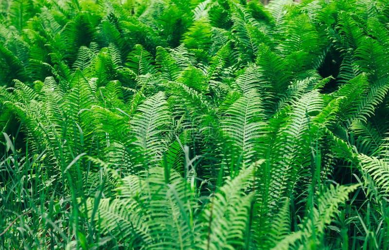 As samambaias de Beautyful deixam a folha verde o fundo floral natural da samambaia na luz solar foto de stock