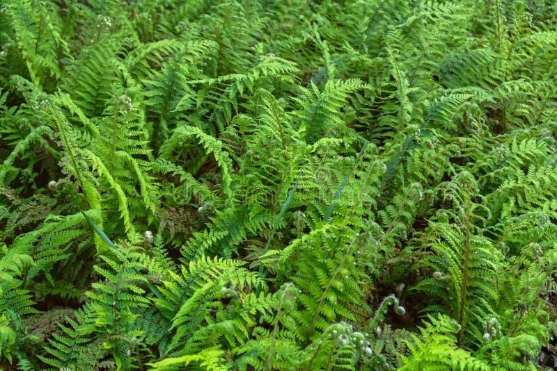 As samambaias de Beautyful deixam a folha verde o fundo floral natural da samambaia no jardim da floresta imagem de stock royalty free
