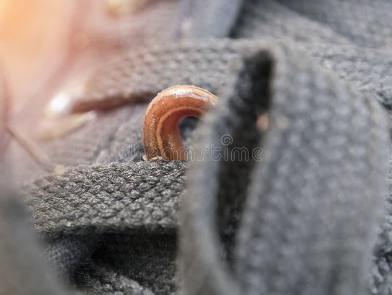As sanguessugas da terra ou os sylvestris de Haemadipsa da lesma estão movendo sobre minha sapata fotografia de stock royalty free