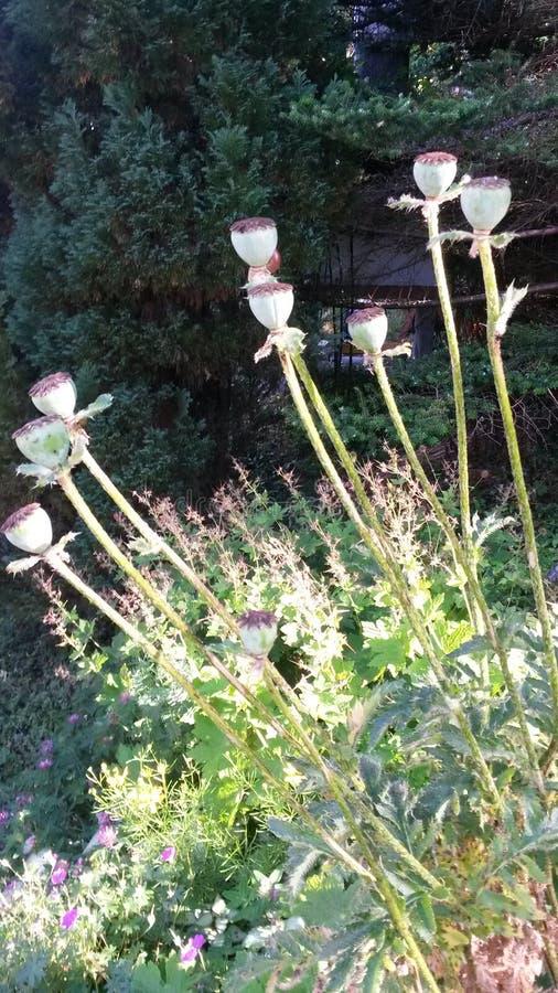 As sementes de flor de Walmo são bonitas imagens de stock