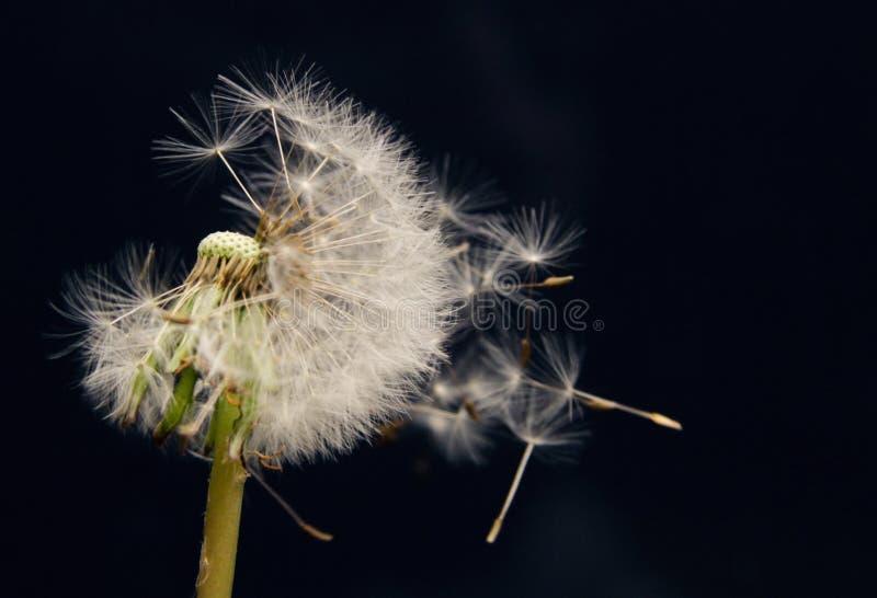 As sementes de flor do dente-de-le?o voam afastado imagem de stock royalty free