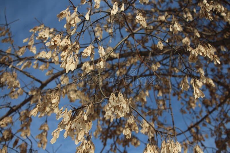 As sementes secadas do bordo penduram nos ramos de uma árvore contra o céu azul foto de stock royalty free