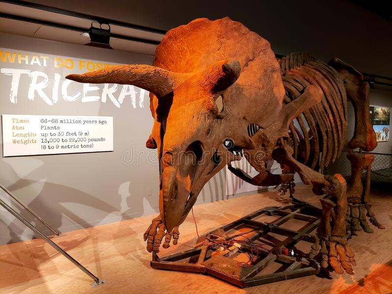 Skeletal Triceratops. As skeleton of a Triceratops on display at the Smithsonian royalty free stock image