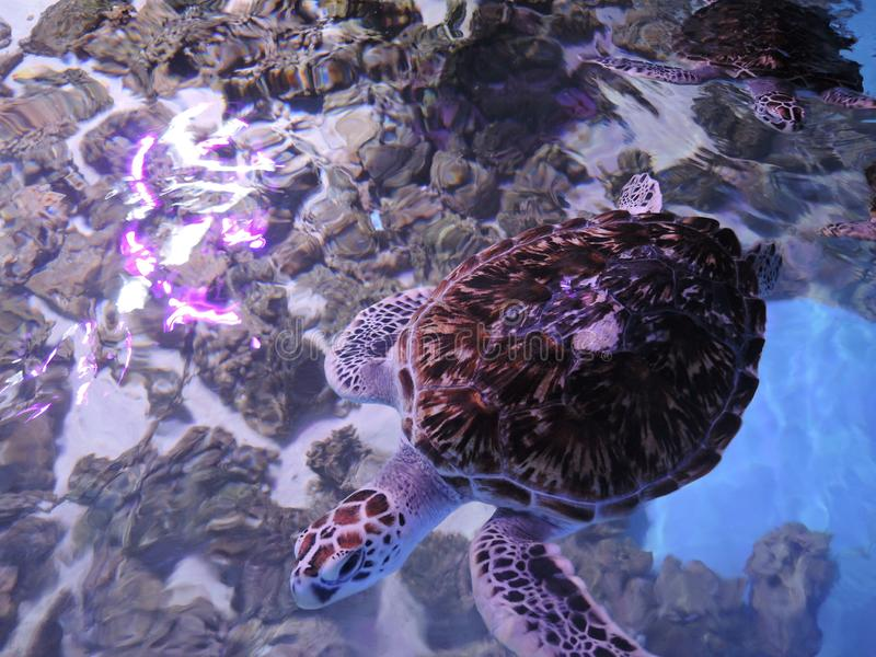 As tartarugas enormes da água nadam em um aquário aberto fotografia de stock royalty free