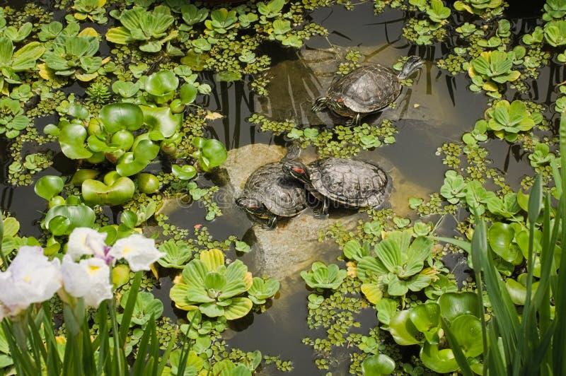 As tartarugas nevados tomam sol no sol que encontra-se nas pedras imagem de stock