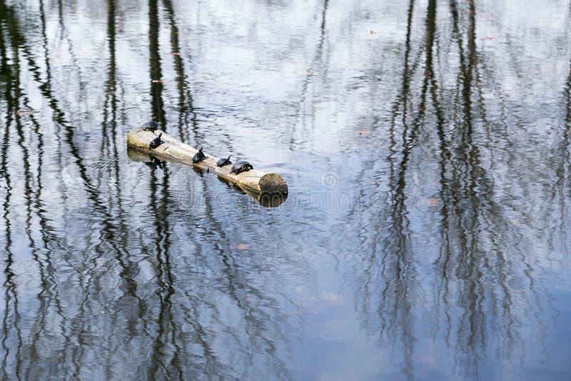 As tartarugas pintadas que expõem-se ao sol entram sobre o meio de uma lagoa foto de stock