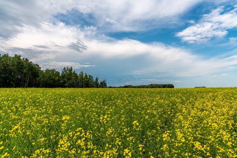 As tempestades da pradaria varrem sobre campos do canola foto de stock