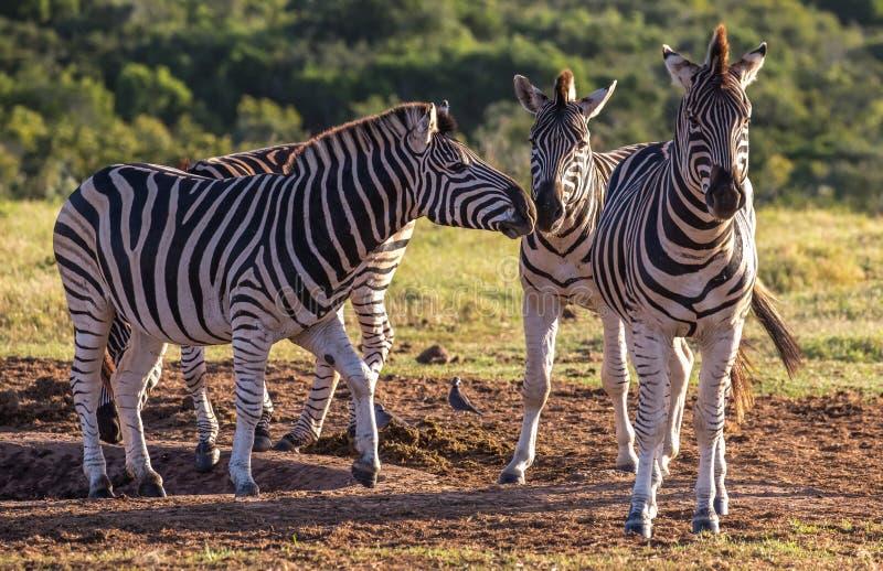 As três zebras de Burchell no sol do fim da tarde foto de stock royalty free