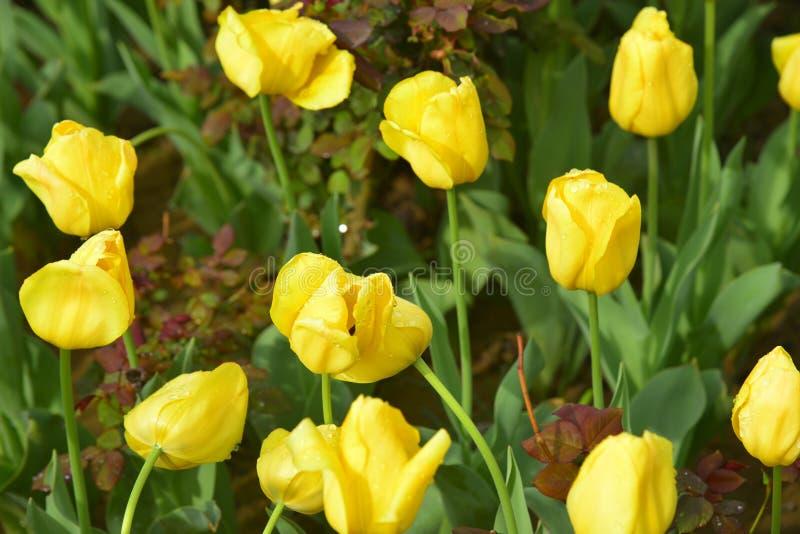 As tulipas amarelas fotografia de stock