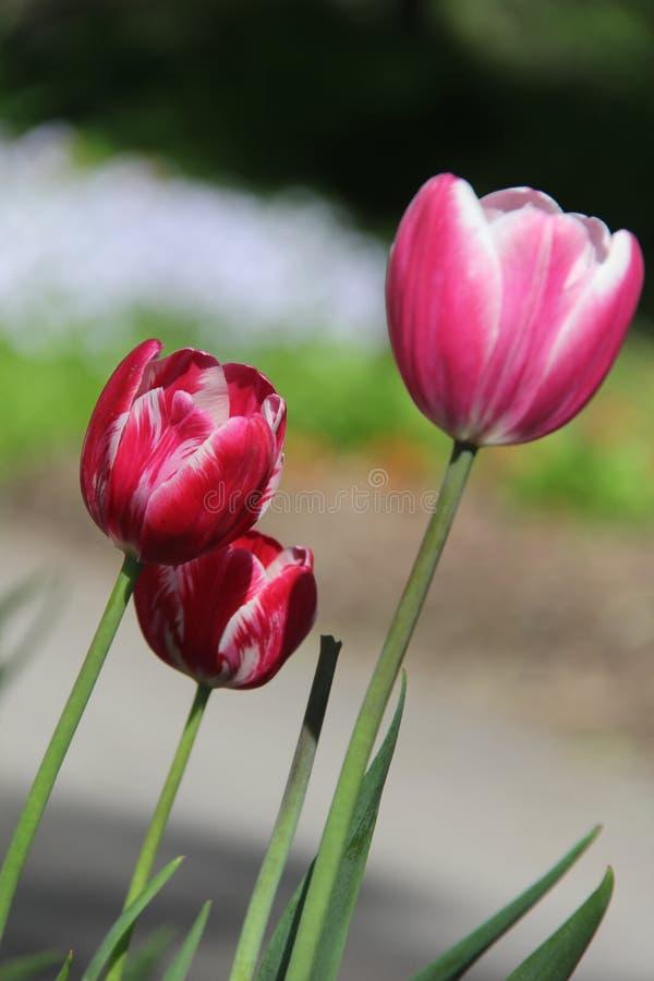 As tulipas as mais agradáveis fotos de stock royalty free