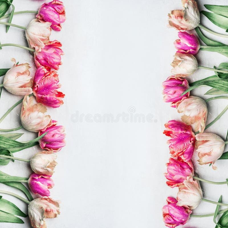 As tulipas bonitas da cor pastel com água deixam cair, quadro floral, vista superior Apenas chovido sobre fotografia de stock