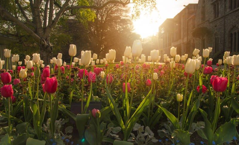 As tulipas bonitas florescem em jardins botânicos de Christchurch, Nova Zelândia fotos de stock
