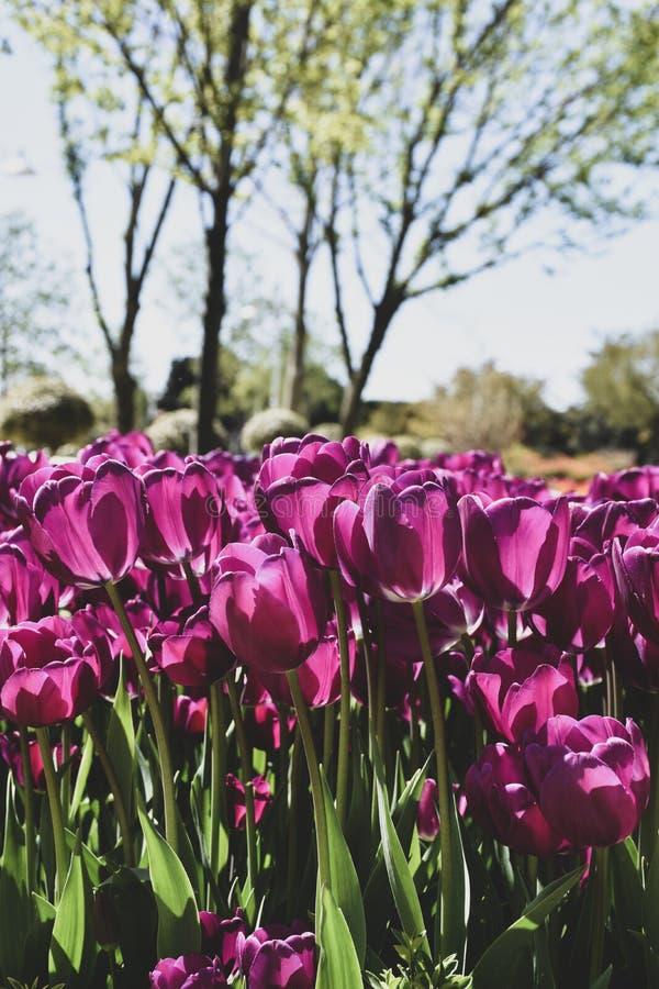 As tulipas bonitas florescem no campo da tulipa na mola foto de stock royalty free