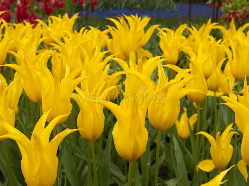 As tulipas colocam em jardins de Keukenhof imagens de stock