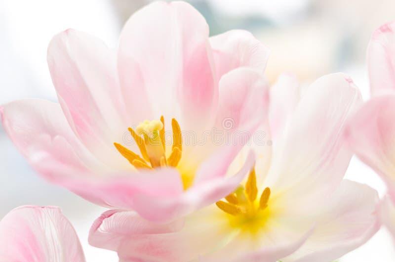 As tulipas cor-de-rosa da mola fecham-se acima de salpicado foto de stock