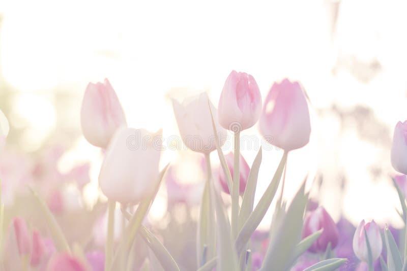 As tulipas cor-de-rosa fecham-se acima da florescência no jardim da mola imagem de stock royalty free