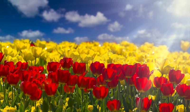 tulipas Sun-embebidas fotografia de stock royalty free