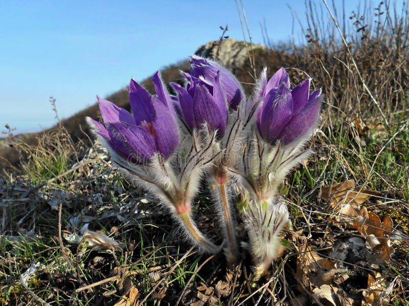 As tulipas da montanha de Rússia admiram sua beleza imagens de stock royalty free