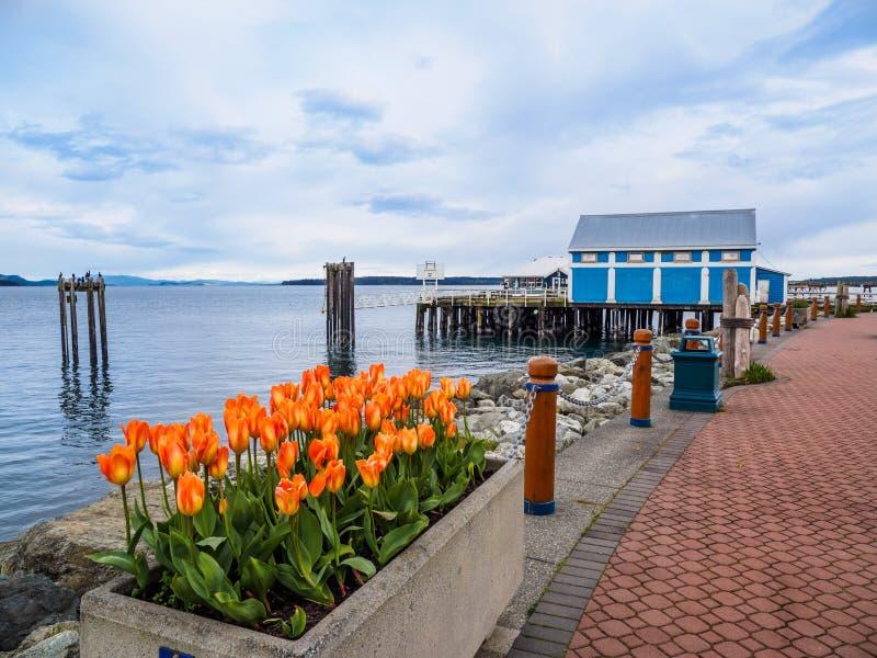 As tulipas decoram a caminhada do beira-mar em Sidney, ilha de Vancôver, Columbia Britânica fotografia de stock