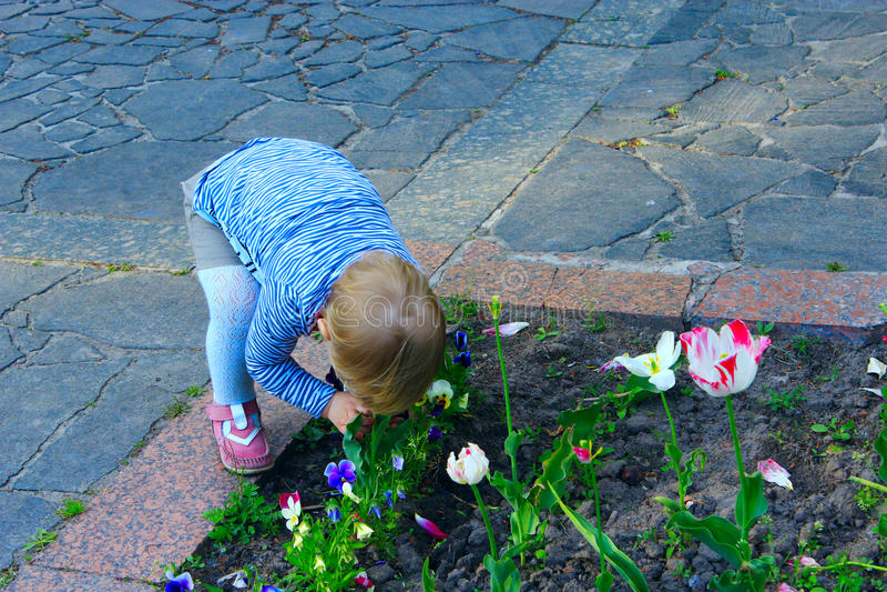 As tulipas dos perfumes do bebê dobraram-se baixo sob o canteiro de flores foto de stock royalty free