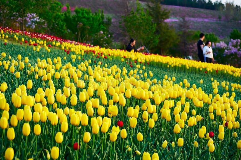 As tulipas douradas de florescência fotografia de stock