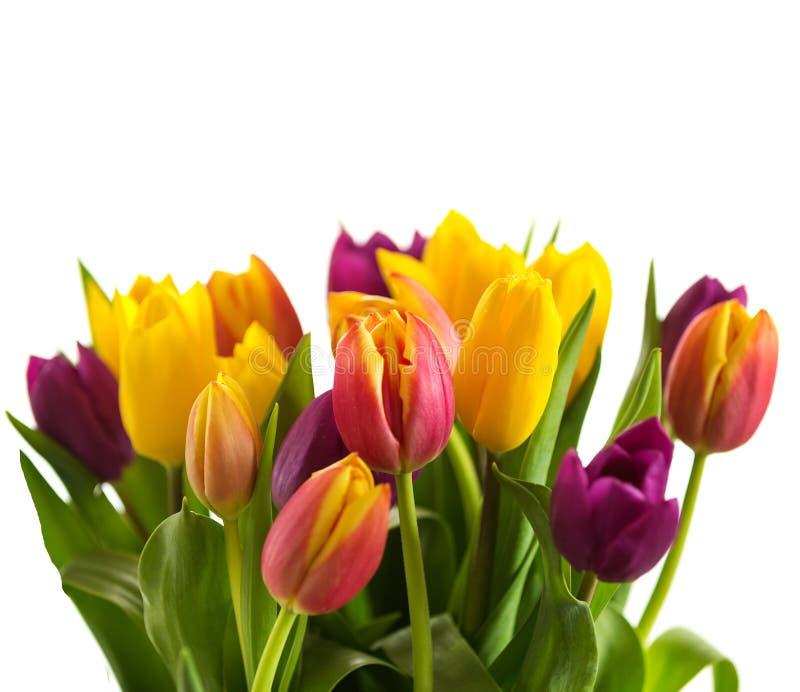 As tulipas em um fundo branco, mola florescem foto de stock