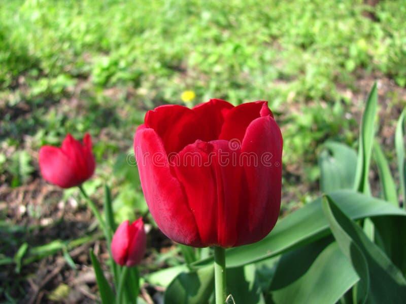 As tulipas florescem a opinião muito bonita tulipas vermelhas no jardim dentro da paisagem na mola ou no verão Vista superior fotos de stock