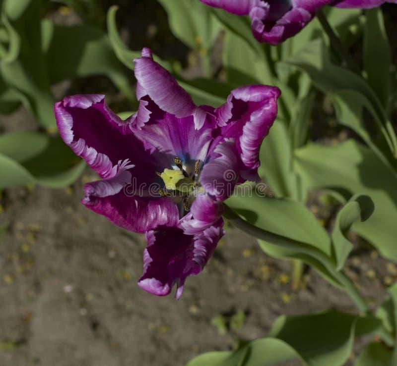 As tulipas roxas fecham-se iluminado acima pelo sol fotografia de stock royalty free