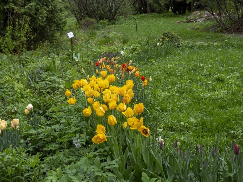 As tulipas vermelhas das flores que florescem no fundo de tulipas amarelas das flores nas tulipas colocam imagem de stock