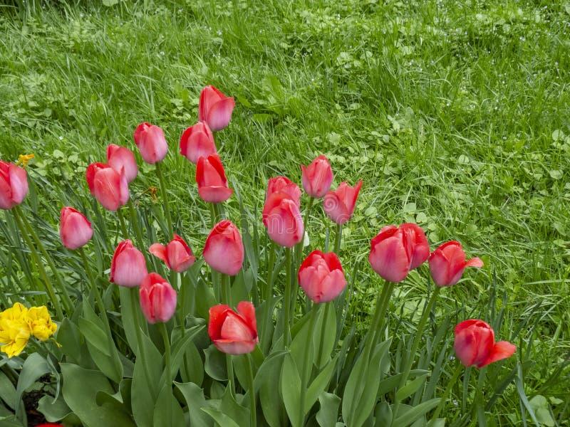 As tulipas vermelhas das flores que florescem no fundo de tulipas amarelas das flores nas tulipas colocam imagem de stock royalty free