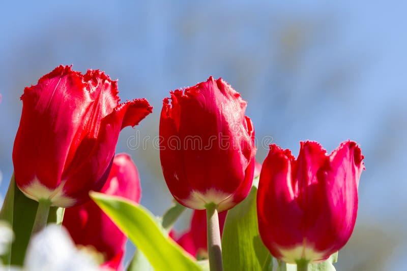 As tulipas vermelhas fecham-se acima da paisagem foto de stock