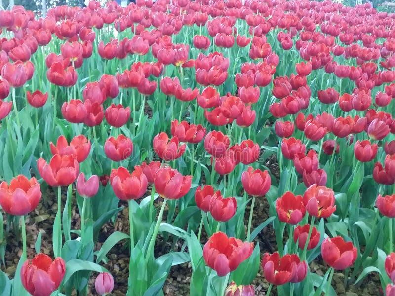 As tulipas vermelhas são flor completa Muito bonito no jardim foto de stock