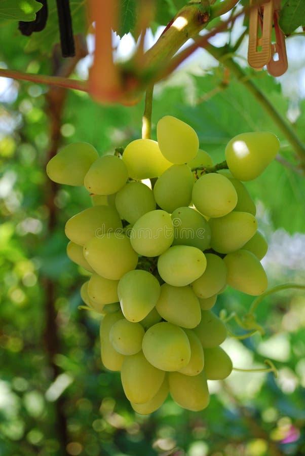 As uvas brancas saborosos maduras crescem em ramos foto de stock royalty free