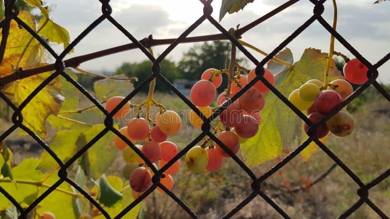 As uvas cor-de-rosa maduras estão pendurando da cerca oxidada velha da rede de arame com luz solar dourada e paisagem borrada no  foto de stock