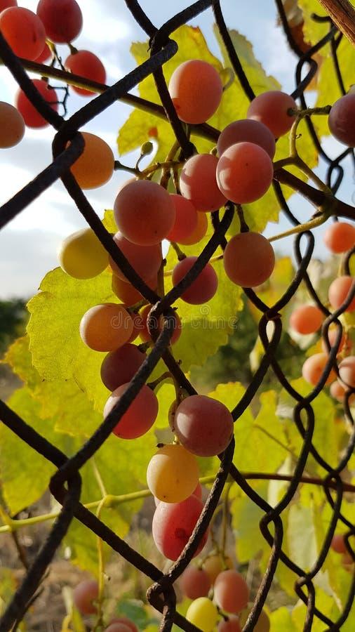 As uvas cor-de-rosa tangled na cerca oxidada velha da rede de arame com a luz solar dourada que brilha através das folhas verdes  fotos de stock