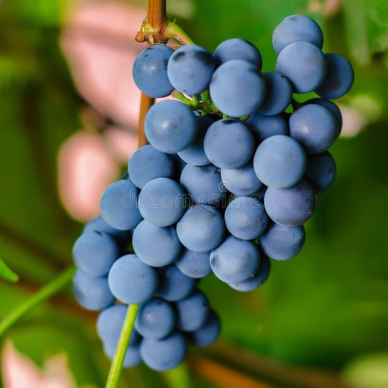 As uvas pretas fecham-se acima imagens de stock