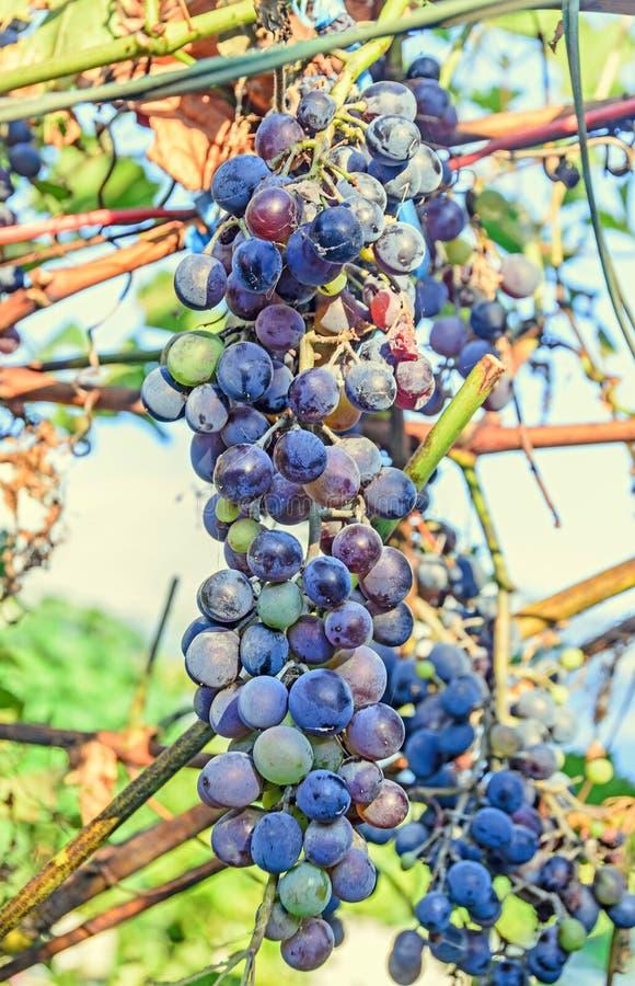As uvas vermelhas frutificam, vitis - folhas do verde da vinha de vinifera imagens de stock