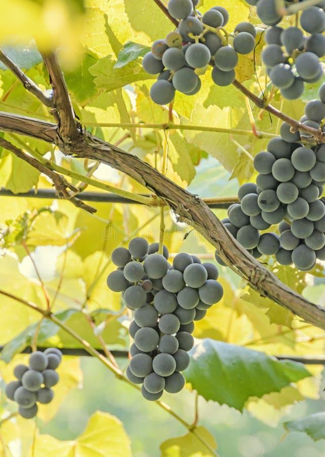 - As uvas vermelhas, roxas frutificam cair, vitis - o verde escuro de vinifera (vinha) sae no sol, fim acima imagem de stock royalty free