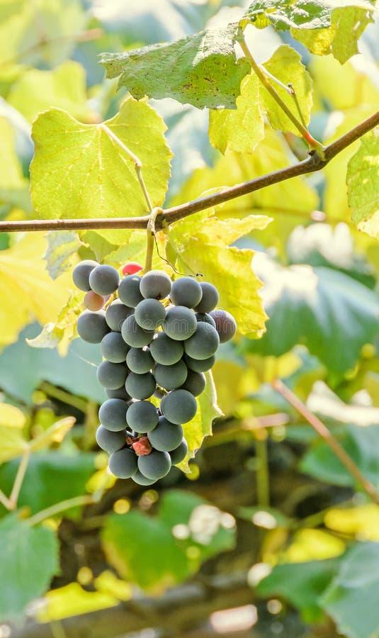 - As uvas vermelhas, roxas frutificam cair, vitis - o verde escuro de vinifera (vinha) sae no sol, fim acima imagem de stock