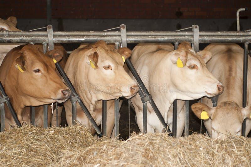 As vacas alimentam dentro um estábulo fotografia de stock
