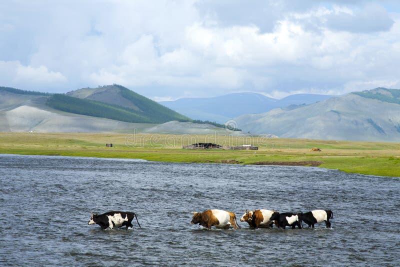 As vacas cruzam um rio largo no vale de Darkhad foto de stock royalty free