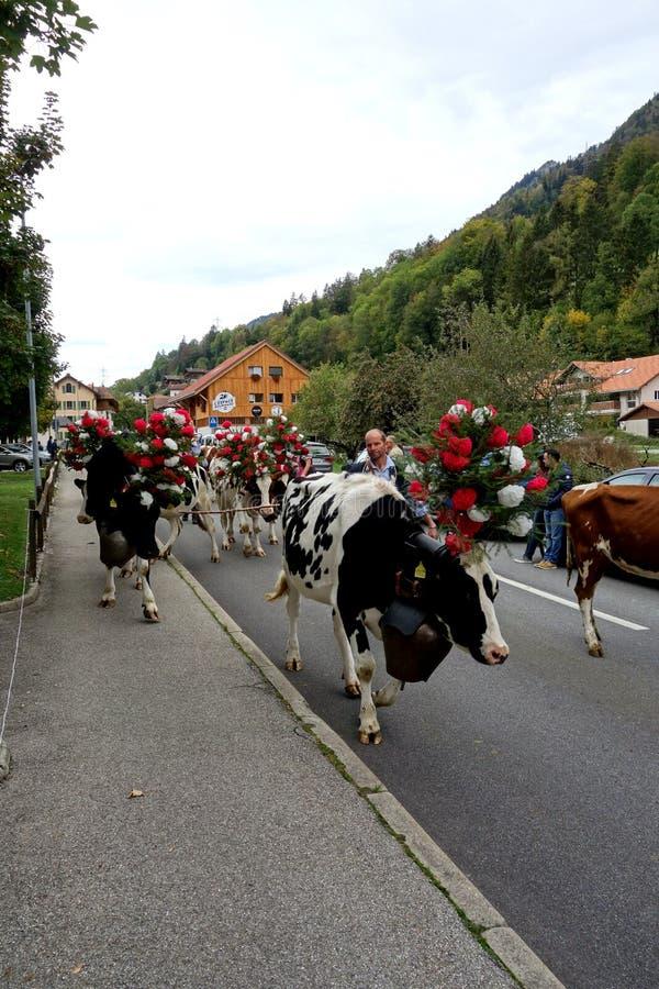 As vacas da rainha conduzem uma parada em Suíça imagem de stock royalty free