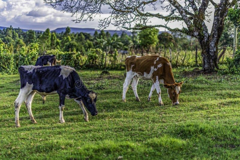 As vacas de leiteria estão pastando na grama luxúria da grama verde em uma terra arrendada pequena em Lessos, Nandi Hills, Kenya fotografia de stock royalty free