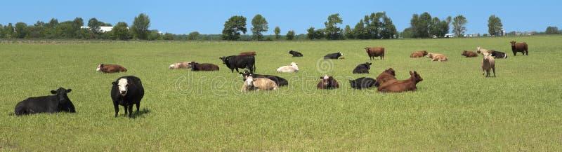 As vacas de leiteria pastam o panorama da bandeira do campo panorâmico fotos de stock royalty free