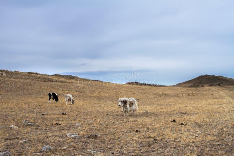 As vacas e os iaques pastam no pasto selvagem entre a grama seca e nas pedras na mola adiantada em uma área montanhosa em um fund imagens de stock royalty free
